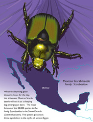Illustration of the Mexican Scarab Beetle emerging from a morning glory
