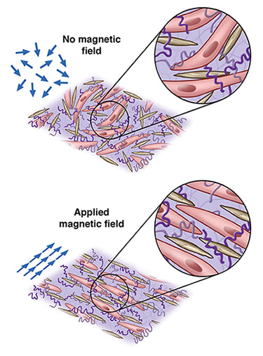 Illustration showing myocyte cell growth using nano-composite and magnetic fields